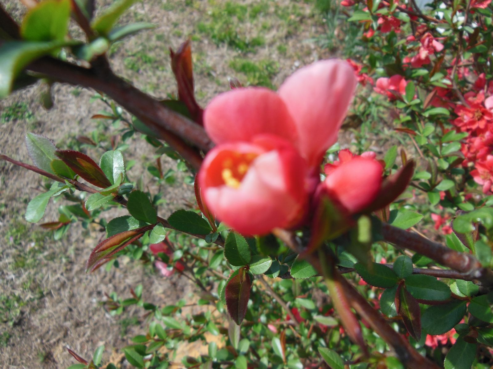 Flowering Quince Bud